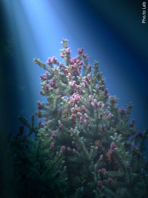 "My pine tree has these purple ""flowers"" on them."